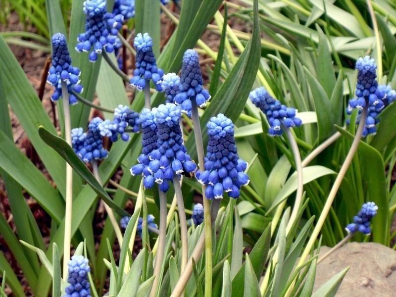 Тенелюбивые цветы для сада: Лесной Гиацинт (лат. Hyacínthus)