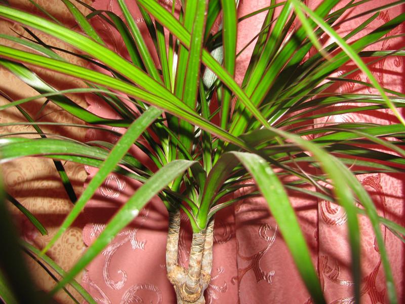 Комнатные растения теневыносливые: Драцена