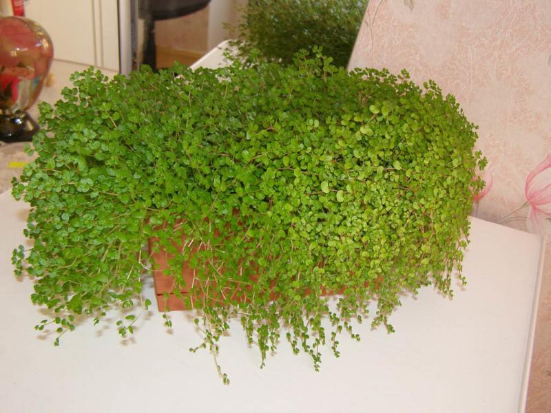 Комнатные растения теневыносливые: Солейролия или Хельксина