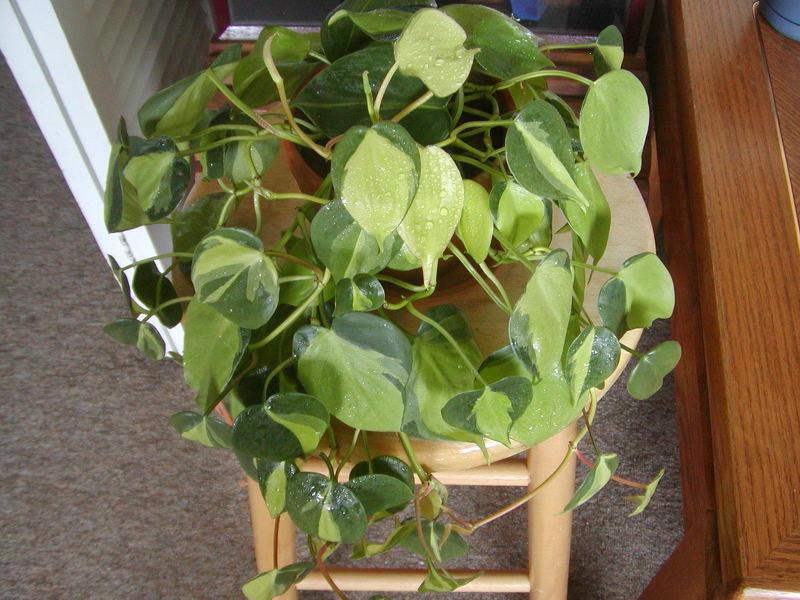Комнатные растения теневыносливые: Филодендрон лазящий