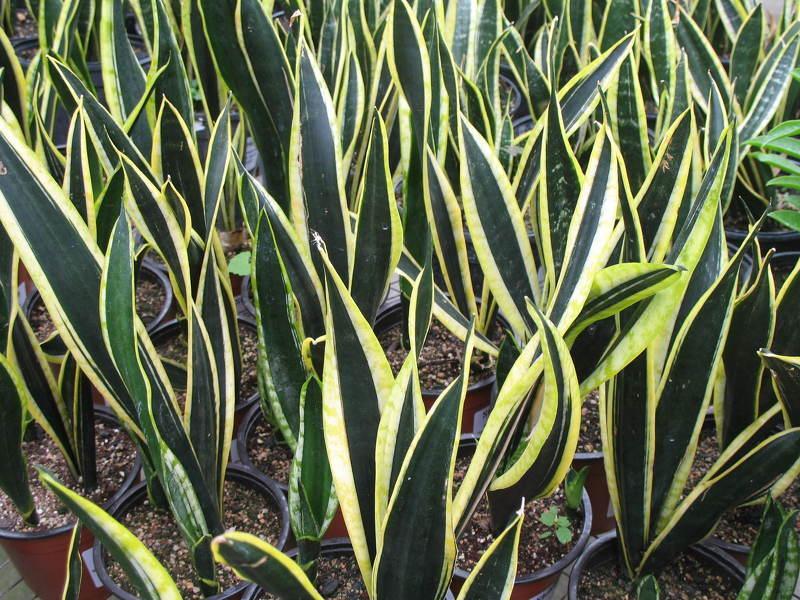 Комнатные растения теневыносливые: Сансевиерия трехполосная