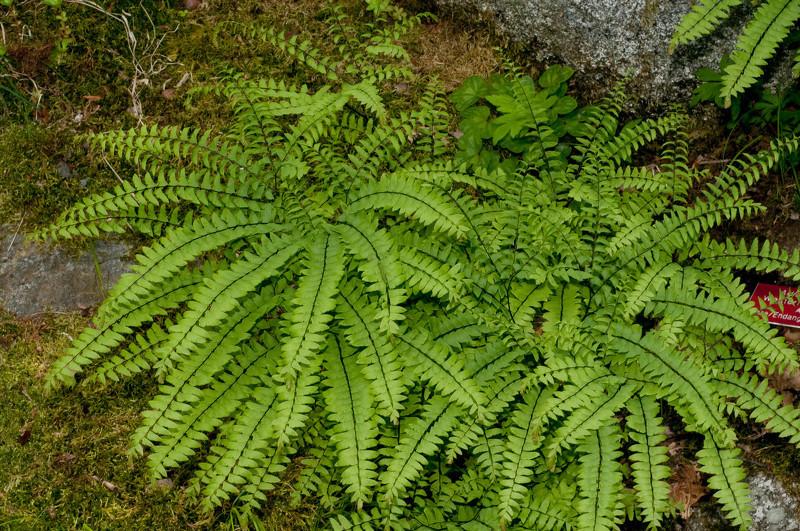 Комнатные растения теневыносливые: Адиантум