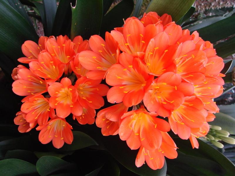 Комнатные растения теневыносливые: Кливия (лат. Clivia)