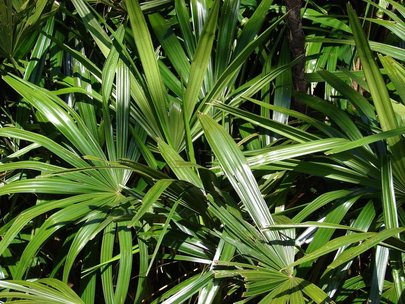 Комнатные растения теневыносливые: Рапис (лат. Rhapis)