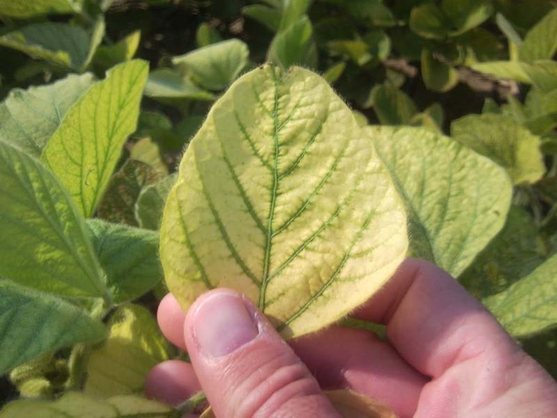 Вирусные болезни картофеля