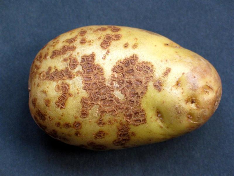 Картофель болезни клубней: парша