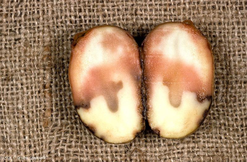 Болезни клубней картофеля фото и описание мокрой гнили смешанной