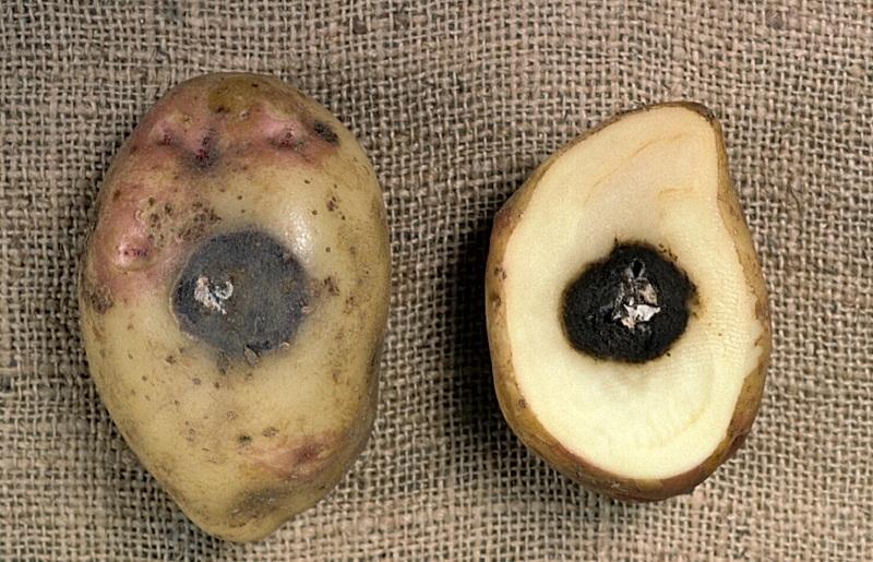 Болезни клубней картофеля фото и описание гнили - черная ножка