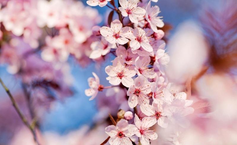 Японская вишня сакура фото и описание сортов