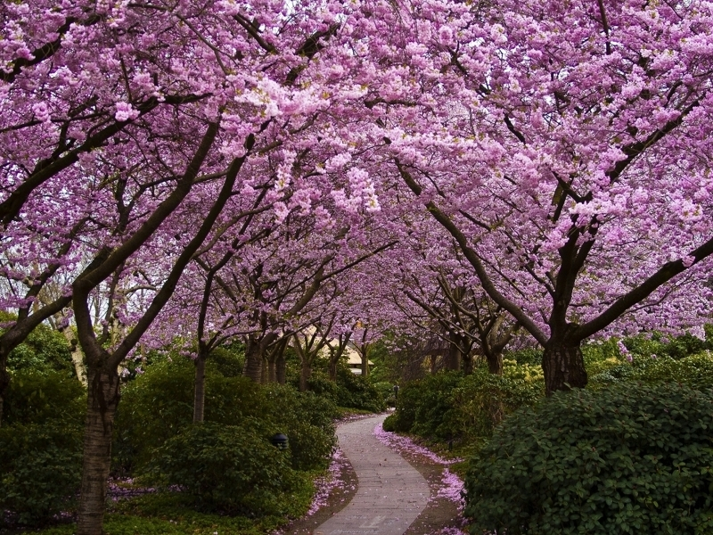 Японская вишня сакура фото и описание сорта Канзан