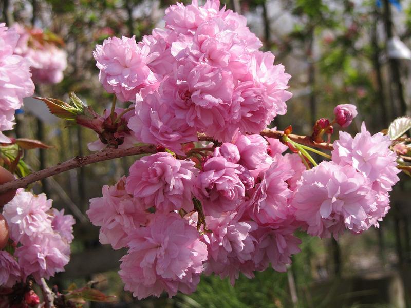 Японская вишня сакура фото и описание сорта Кику-Шидаре