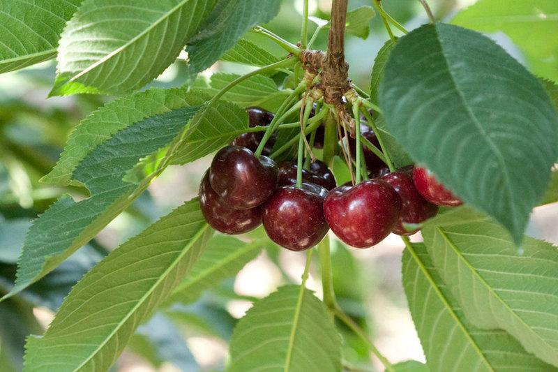 Сорта вишни для сибири и урала: Маяк