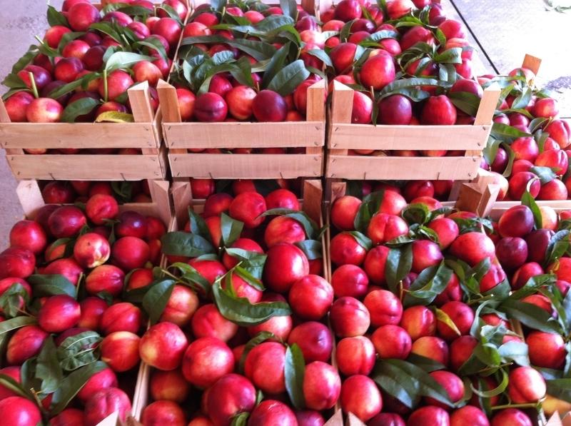 Сорта сливы – урожай