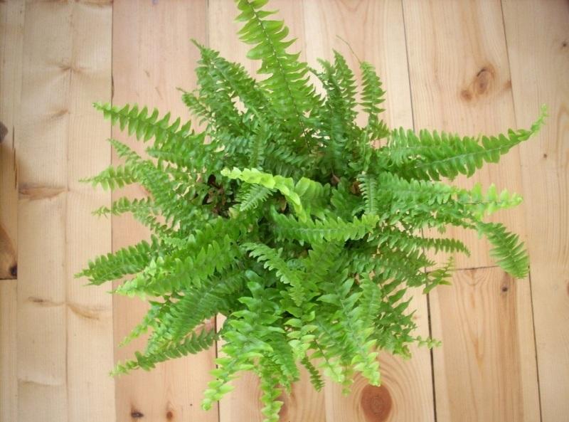 Комнатные растения теневыносливые: Нефролепис (лат. Nephrolépis)