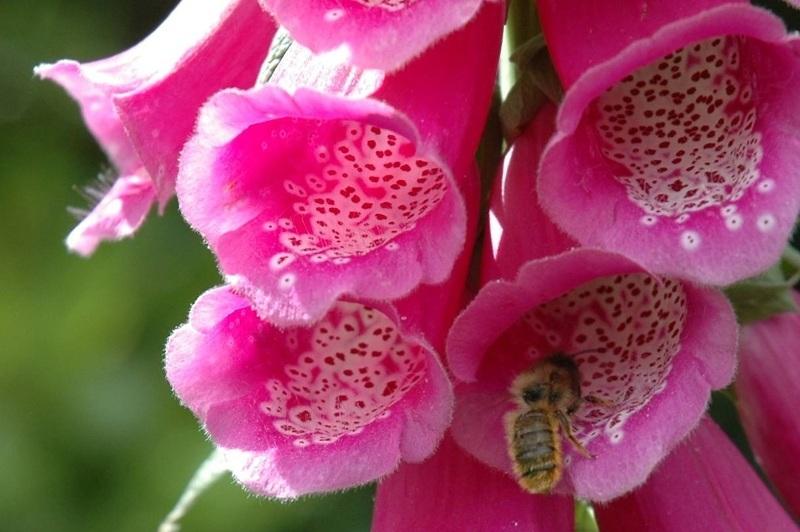 Тенелюбивые цветы для сада: Наперстянка