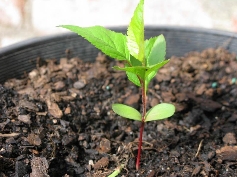 как можно вырастить яблоню