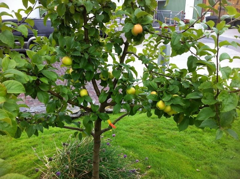 Можно ли вырастить яблоню из ветки: первые плоды