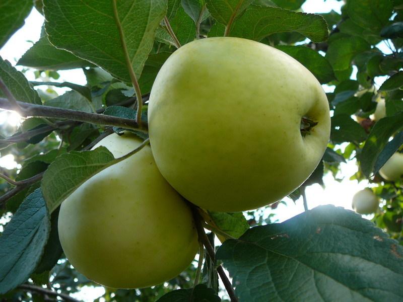 яблоки антоновка фото описание