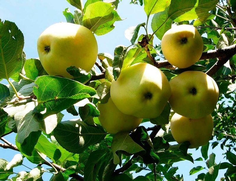 фото яблок уэлси