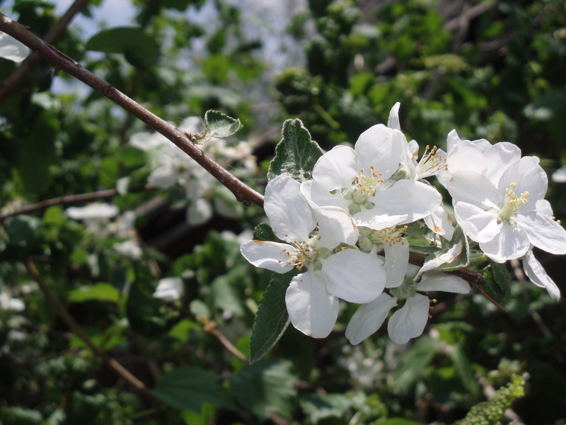 Сорт яблок антоновка в цвету