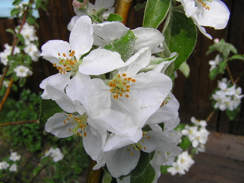 Яблоня гала в цвету