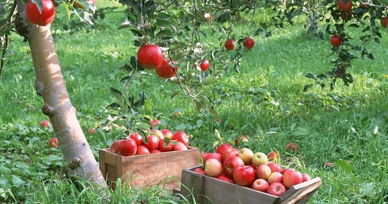 Яблоки гала плоды