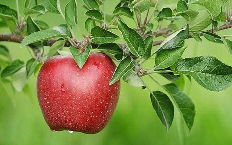 Яблоки гала подвида маст