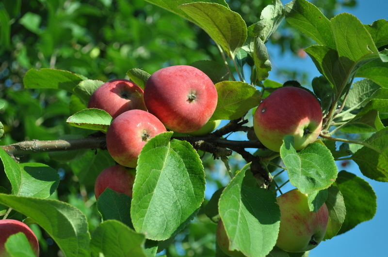 Яблони сорта для Урала, уралец