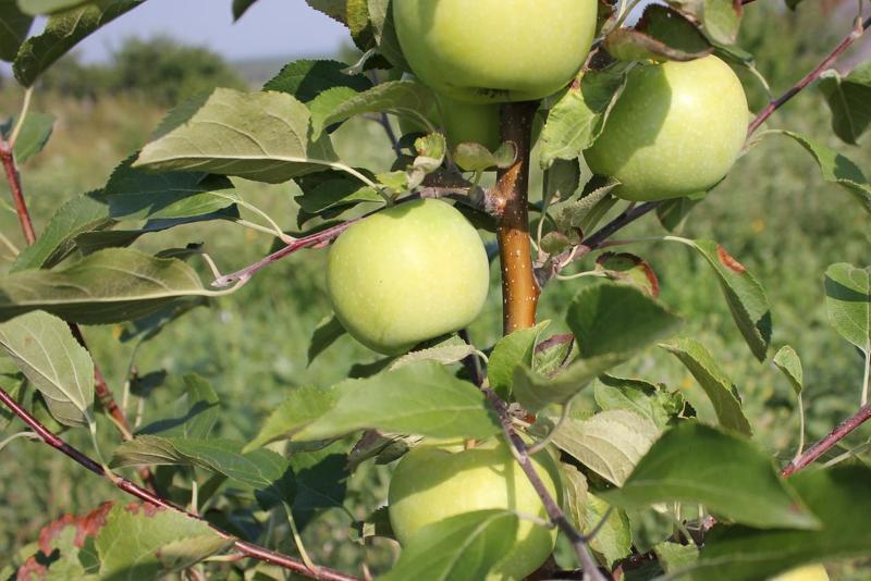 Яблони сорта для Урала, папироянтарное