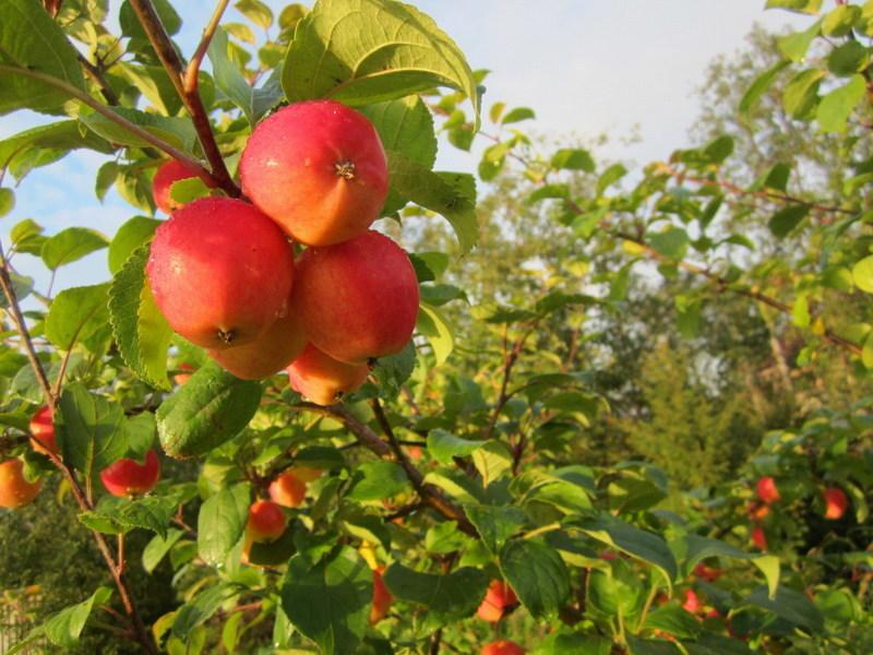 Колоновидные яблони  особенности и лучшие сорта Фото