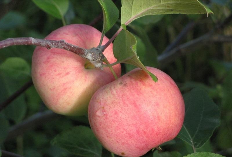 Яблони сорта для Урала, соковое - 3