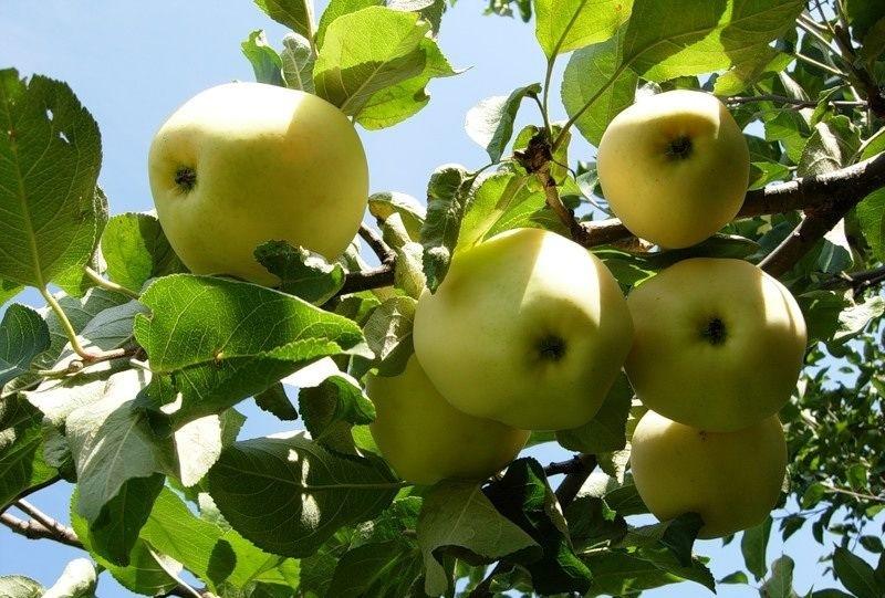 Сорта яблонь для урала: Уральское Наливное