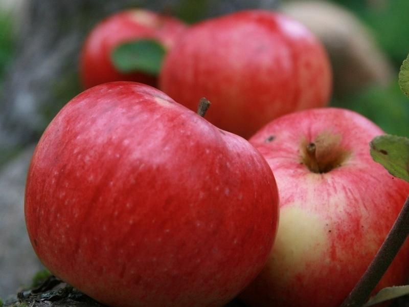 Сорт яблони Антоновка фото отзывы описание характеристики