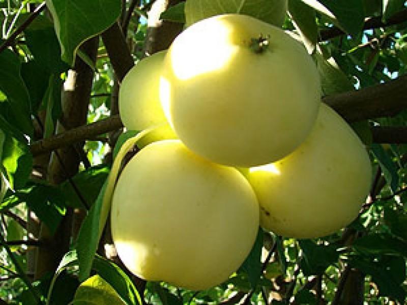 Купить саженцы плодовых деревьев продажа саженцев