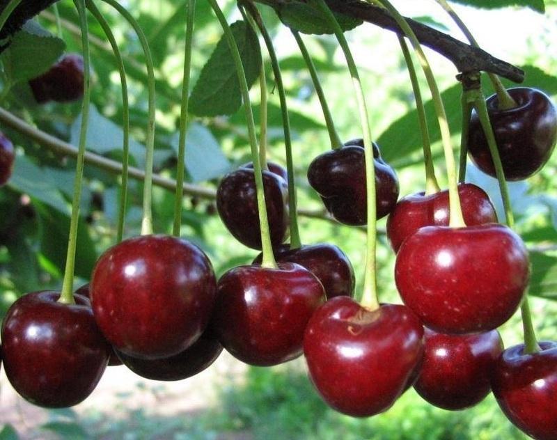 Кустовая вишня сорта щедрая