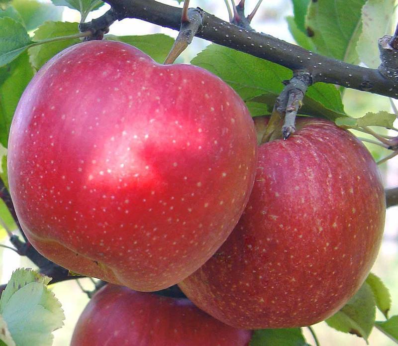 Яблоки фуджи фото