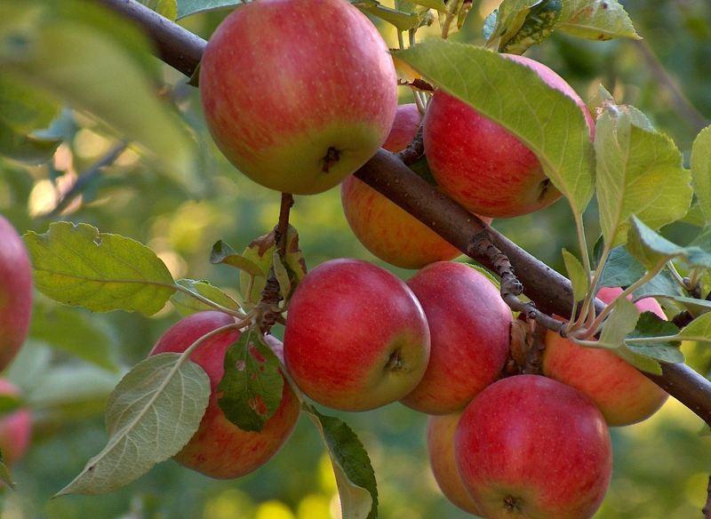 Чем популярна яблоня «Джонатан»: описание, характеристика, фото. Особенности выращивания яблони «Джонатан», правильная обрезка