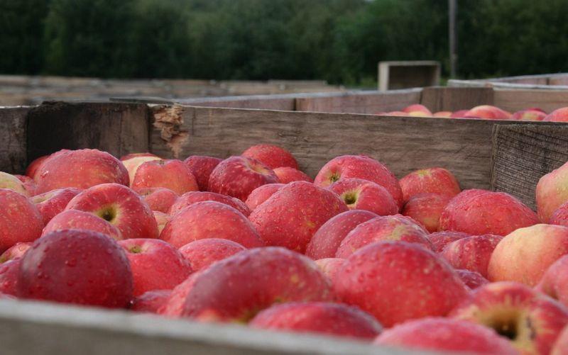 Яблоки джонатан: транспортировка