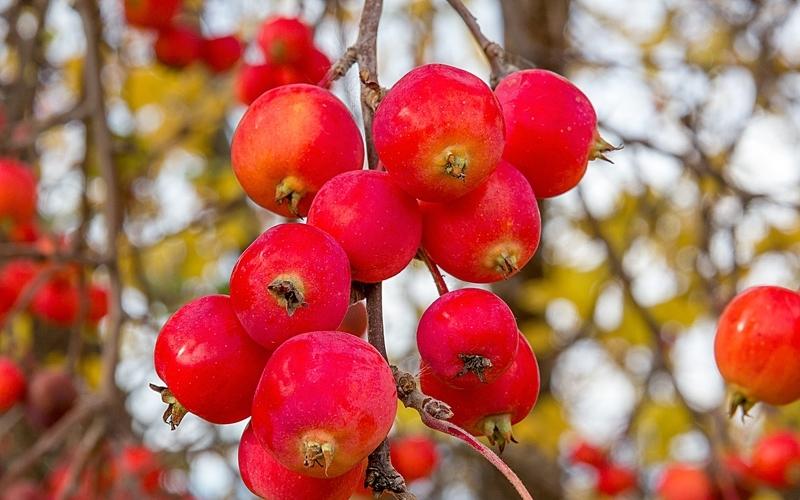 яблоня китайская фото