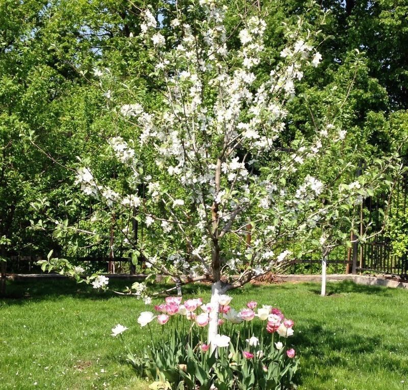 Яблоня китайка как украшение сада и элемент декора