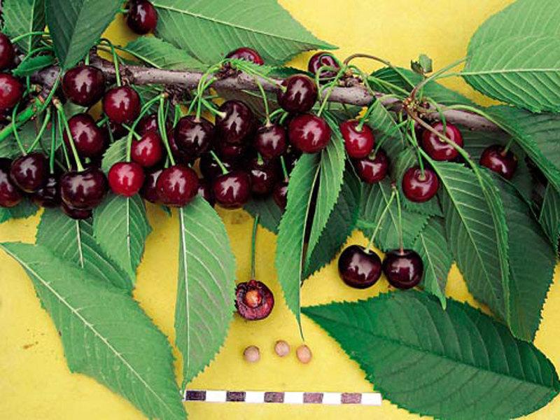 Сорта вишни для урала: Свердловчанка