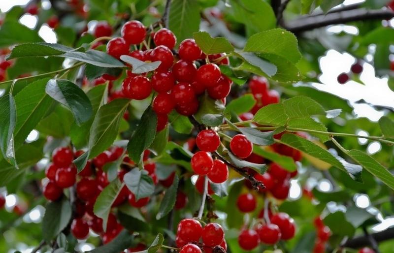 Сорта вишни для урала: Полевка Мичурина