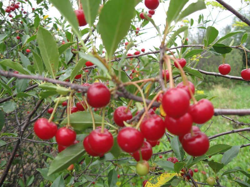 Сорта вишни деревом для сибири