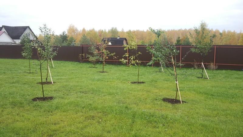 Мельба яблоня как посадить и вырастить