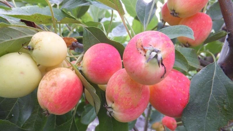 Сорта яблонь для Сибири, сорт ранеток Долго