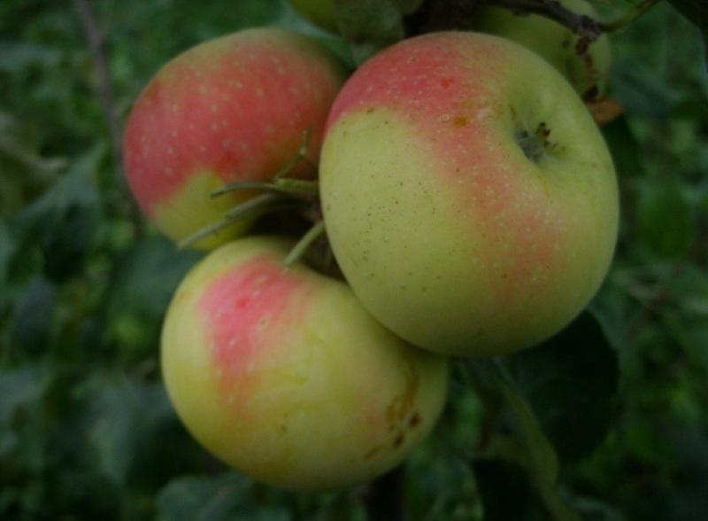 Сорта яблони для сибири - Ермаковское горное