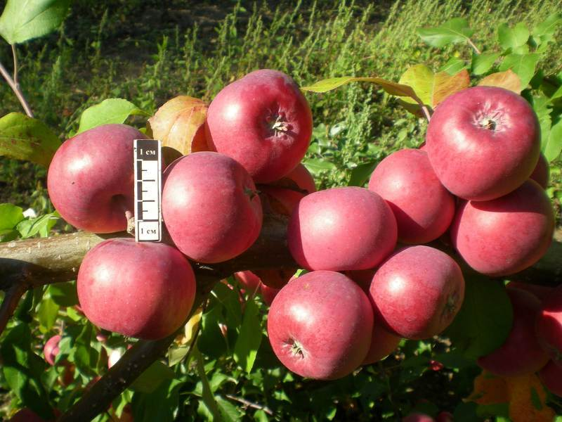 яблони сорта с
