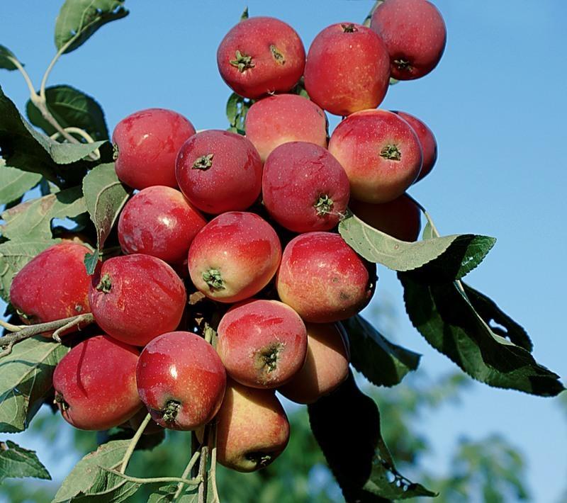 Сорта яблони для сибири - Жебровское