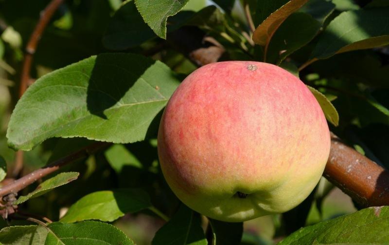 Лучшие сорта яблонь для сибири: Мельба