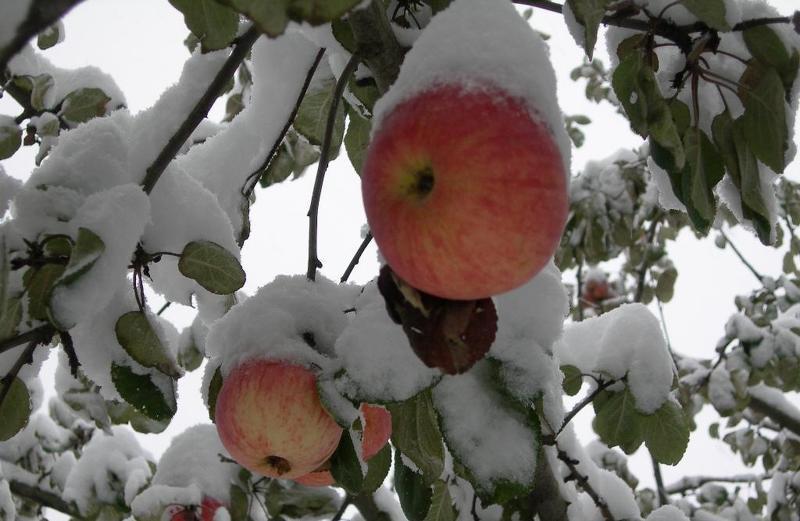 Сорта яблонь для Сибири: яблоки в снегу
